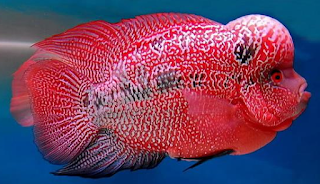 Ikan louhan kamfa modern