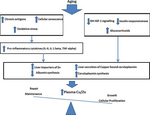 Cоотношение цинк-медь, церулоплазмин и ваше здоровье (Cu/Zn).