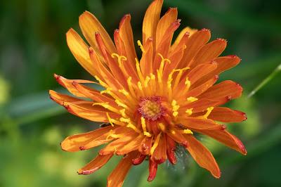 [Asteraceae] Crespis aurea – Golden Hawk's Beard (Radicchiella aranciata)