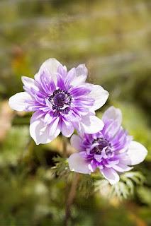 bunga anemon