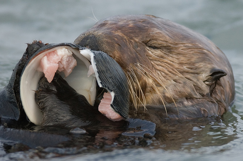 otter eating a clam shell on its back