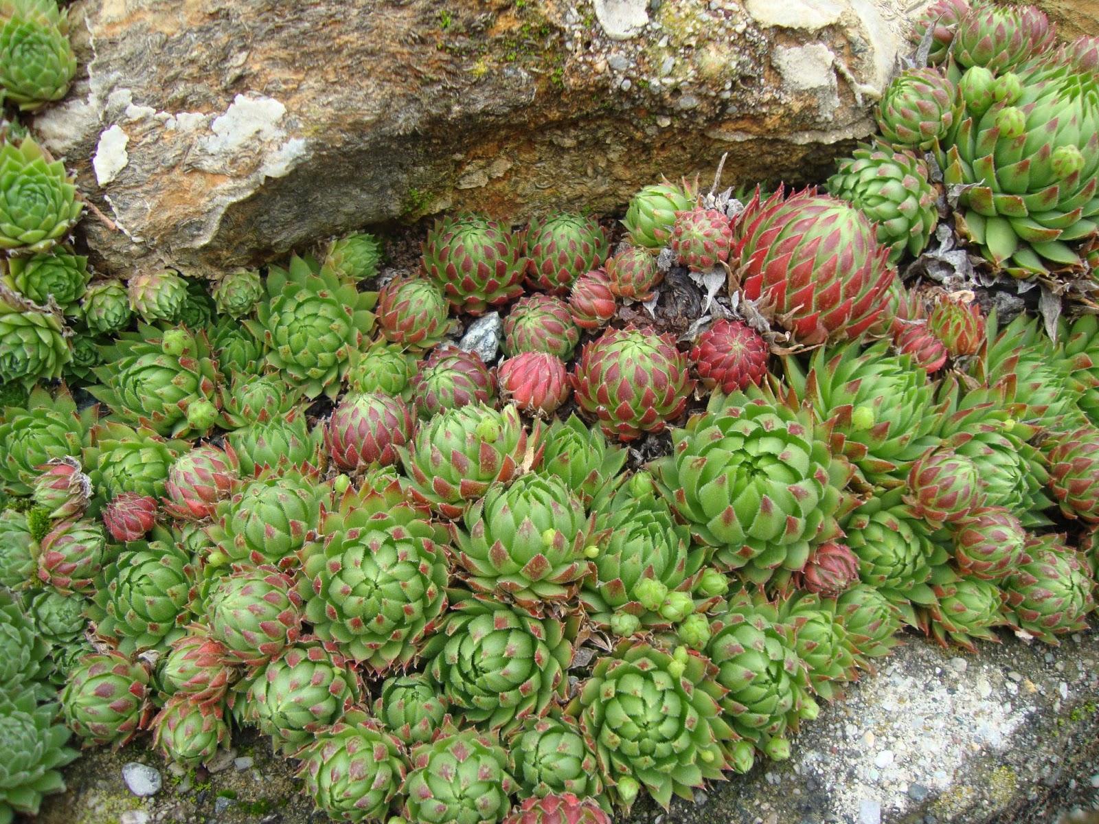 Un piccolo giardino in citt sempervivum facili e for Piante da giardino costose