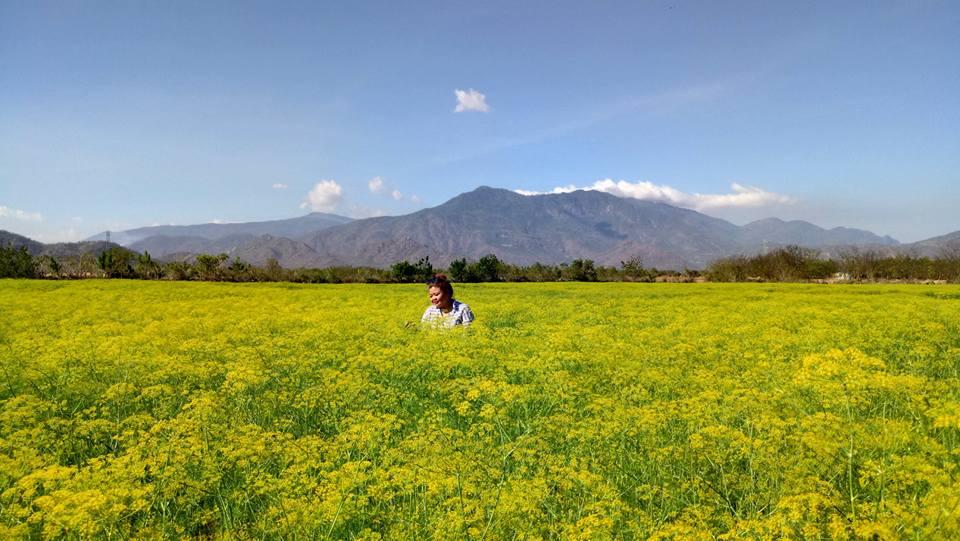 Hướng dẫn chi tiết đường đi tham quan cánh đồng hoa thì là ở Ninh Thuận