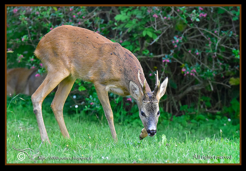 Roe deer in the garden