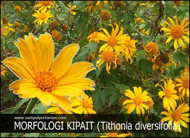 Morfologi Bunga Kipait Atau Kembang Bulan Atau Rondosemoyo Tithonia Diversifolia