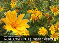 Morfologi Bunga Kipait atau kembang bulan atau Rondosemoyo (Tithonia diversifolia)