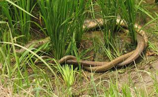 Ptyas mucosa, Indian Rat Snake