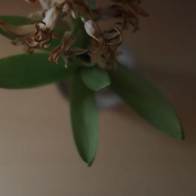 花が萎れて葉の存在感が増したヒアシンス