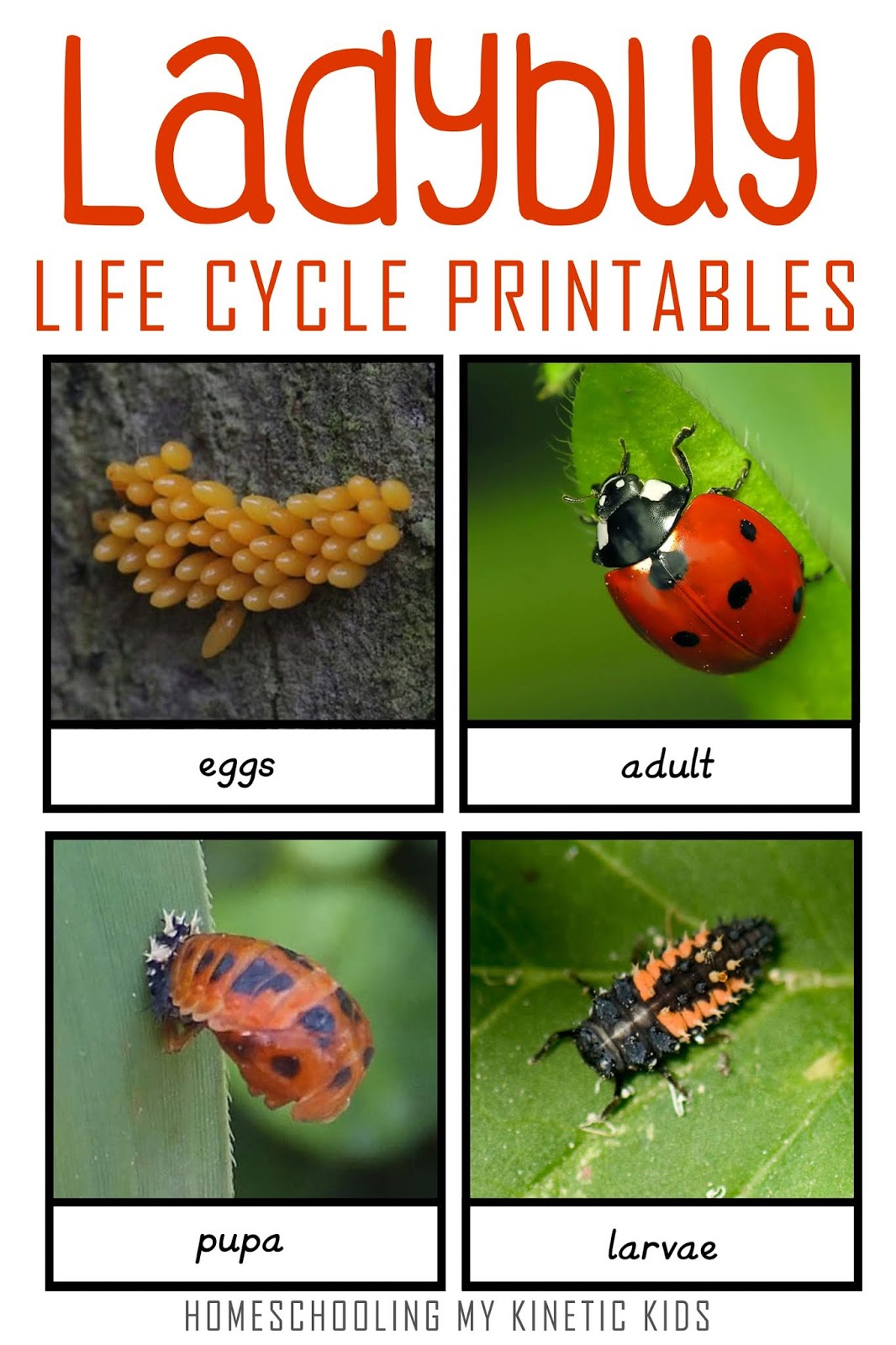 Montessori Inspired Ladybug Life Cycle 3 Part Cards