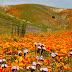 Σπάνια ανθοφορία σε έρημο της Καλιφόρνιας
