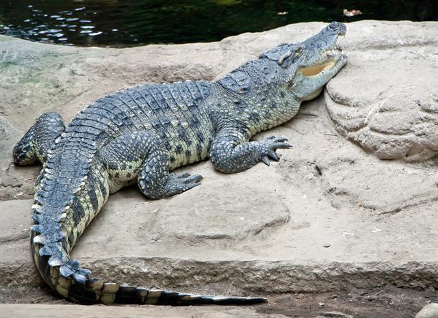 Cá sấu nước ngọt(Crocodylus siamensis)