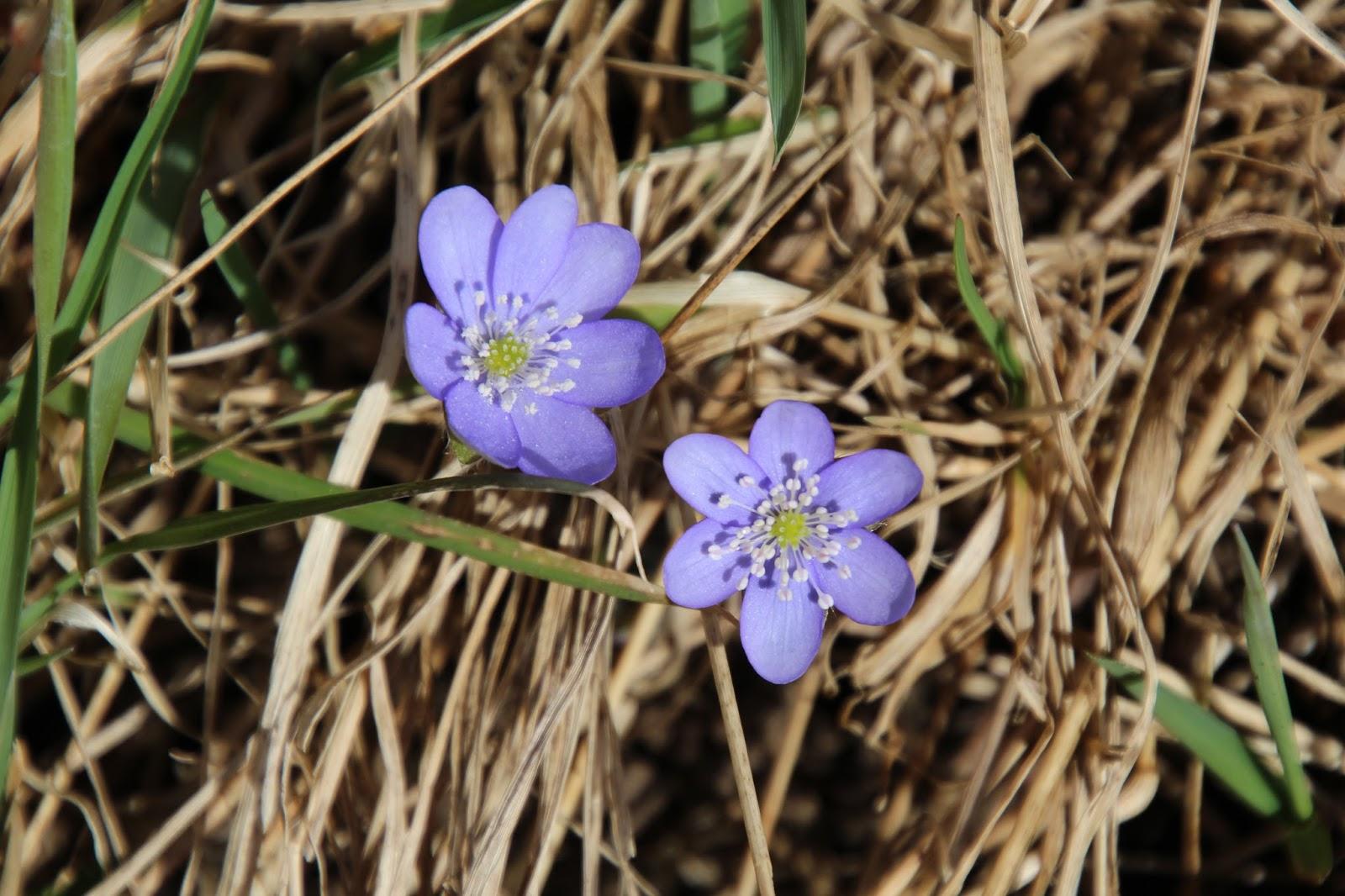 Blåsippa Hepatica nobilis