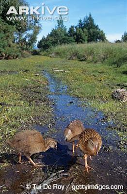 Weka habitat