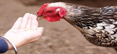 Cara Memberikan Pakan Ayam Kampung Sesuai Dengan Porsinya