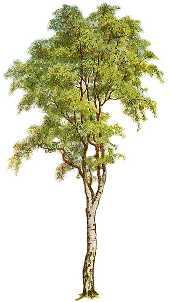 Birch Tree Fall Wallpaper Clipart Tree With Branches