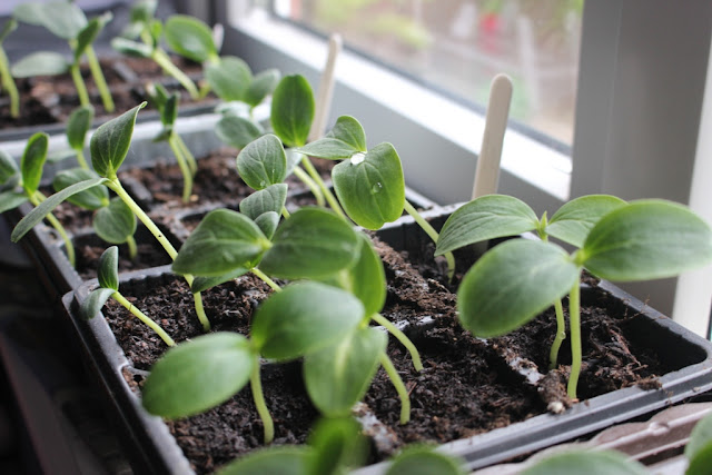 Lots of cucurbit seedlings on my windowsill