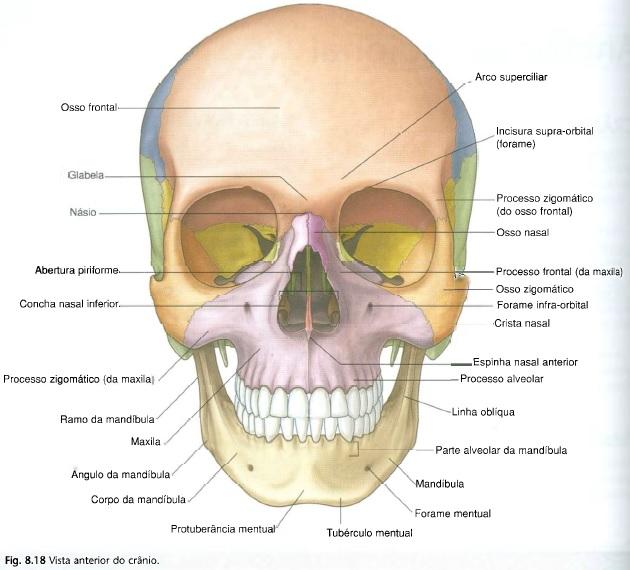 Estudos na web anatomia cr nio for Esterno e um osso irregular
