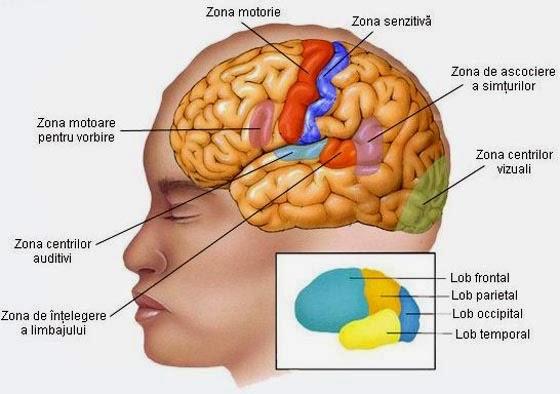 creierul este partea responsabilă cu vederea)
