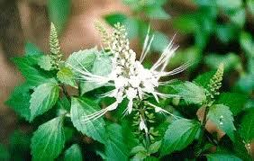 Herbal And Medicinal Plants Kidney Tea Plants For Kidney Stones Diabetes Back Pain