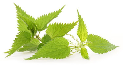 Nettle is a plant that can be found everywhere and possess distinctive therapeutic properties.