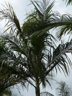 Palmier d'Alexandre - Archontophoenix alexandrae - Palmier royal