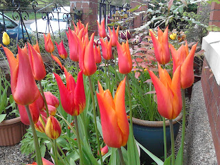 Zingy Orange Tulips in Pots