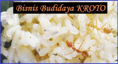 Budidaya Kroto Hasilkan Omset Ratusan Juta