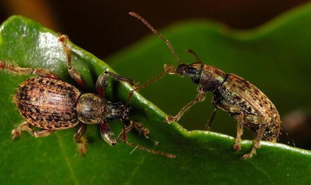 Champions of biodiversity: Weevil genus beats records of explosive evolutive radiation