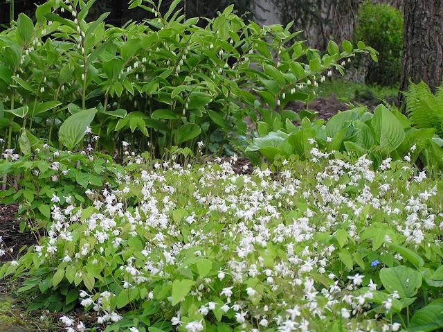 kwitnące kokoryczki i epimedium Niveum