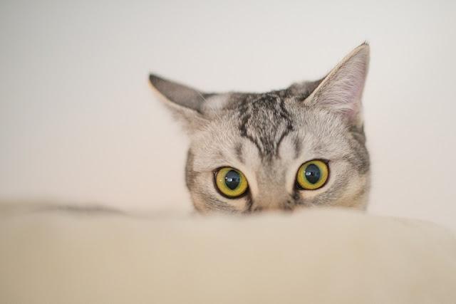 Cara Hilangkan Bau Hancing Kucing