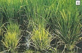 pengendalian hama dan penyakit padi dengan NASA