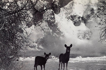 A mule deer doe and her fawn walk together in the snow