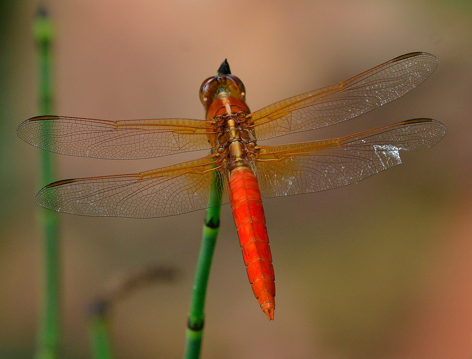 Ask A Master Gardener Dragonflies Are Good Insects They Eat Mosquitos