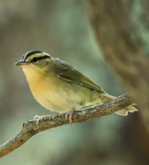 Bird World - Image of Worm-eating warbler - Helmitheros vermivorum