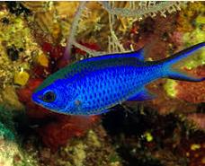 Ikan Hias Air Laut Chromis