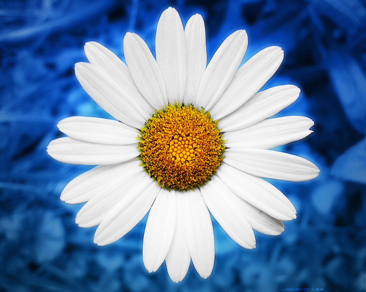 Liana Conis Blog: daisy wallpaper hd