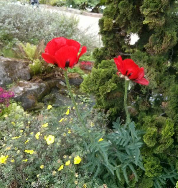 Klatschmohn im Steingarten