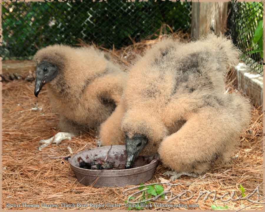 Baby Black Vulture