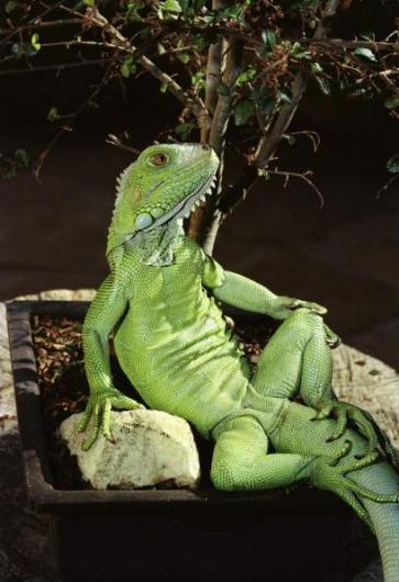 Iguana Lizard Sit Down Like Humans General Information