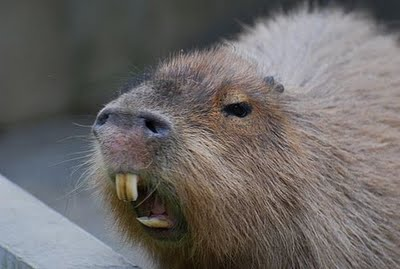 Zoo Animals Funny Capybara Pictures