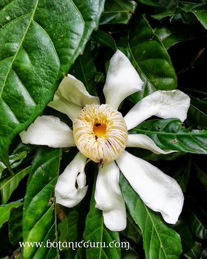 Gustavia superba, Membrillo flower