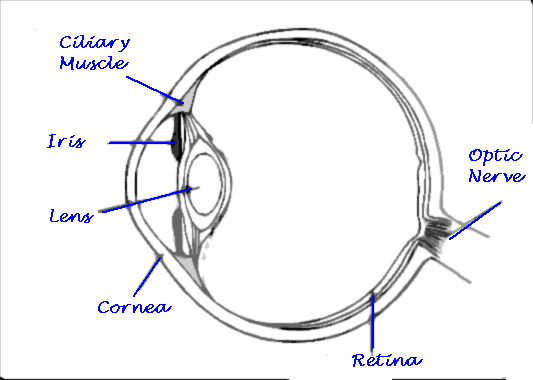 Draw A Well Labelled Diagram Of Human Eye How Will You Take Care