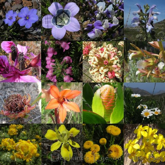 Spitskop flowers in November
