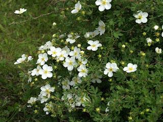 Dasiphora fruticosa var. alba - Potentilla fruticosa var. alba