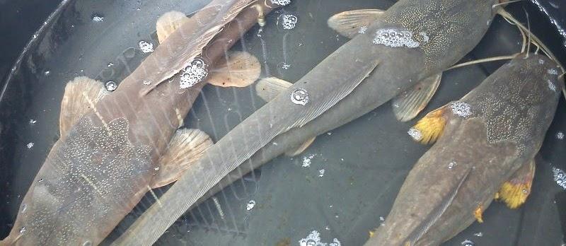 Cara Memelihara Ikan Lele yang Baik dan Benar