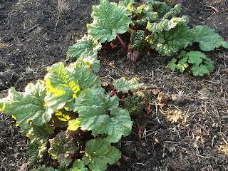 Mulch, rhubarb