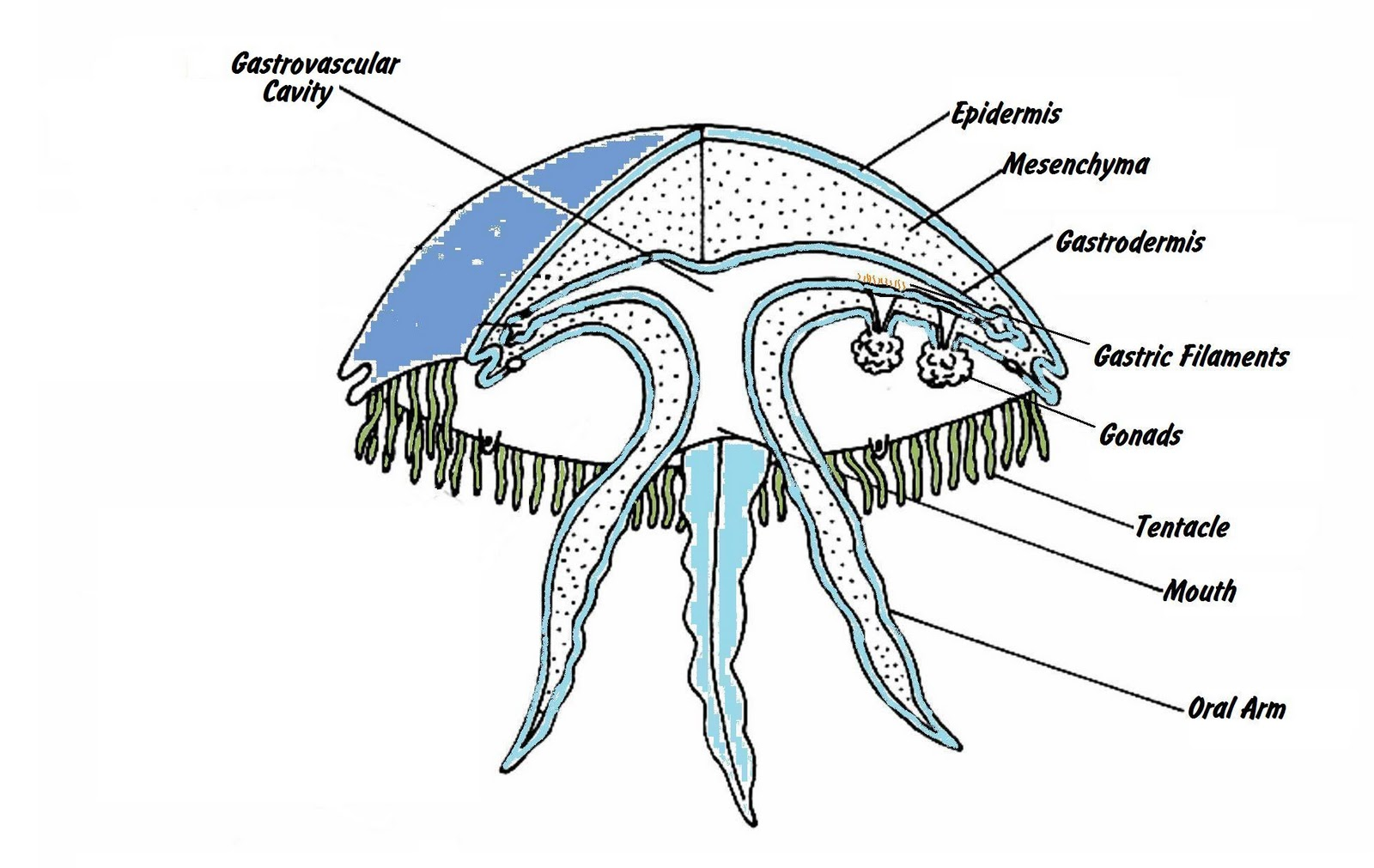 the geography of jellyfish what exactly is a jellyfish medusa cnidarian diagram diagram of jellyfish [ 1600 x 1011 Pixel ]