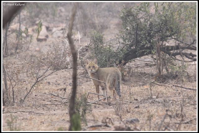 Wild Cat at Sariska