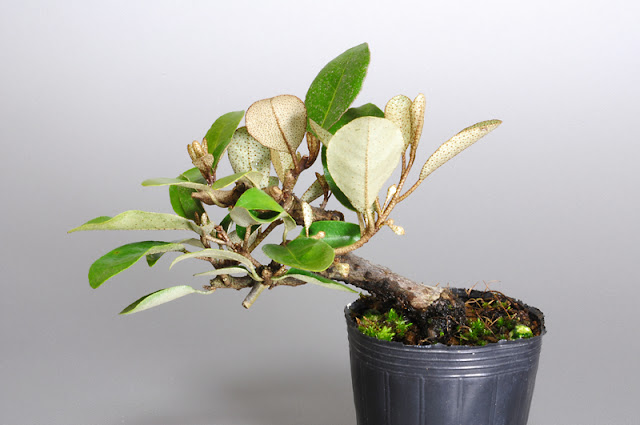 カングミ T(寒茱萸盆栽)Eleagnus pungens bonsai