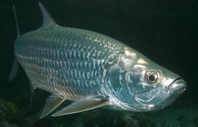 Indo-Pasific Tarpon Si Ikan Bandeng Yang Menakutkan